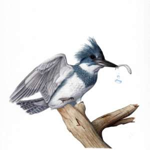 Nora Sherwood Natural Science illustrator kingfisher