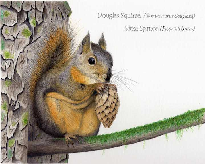 Douglas Squirrel and Sitka Spruce illustration by Nora Sherwood