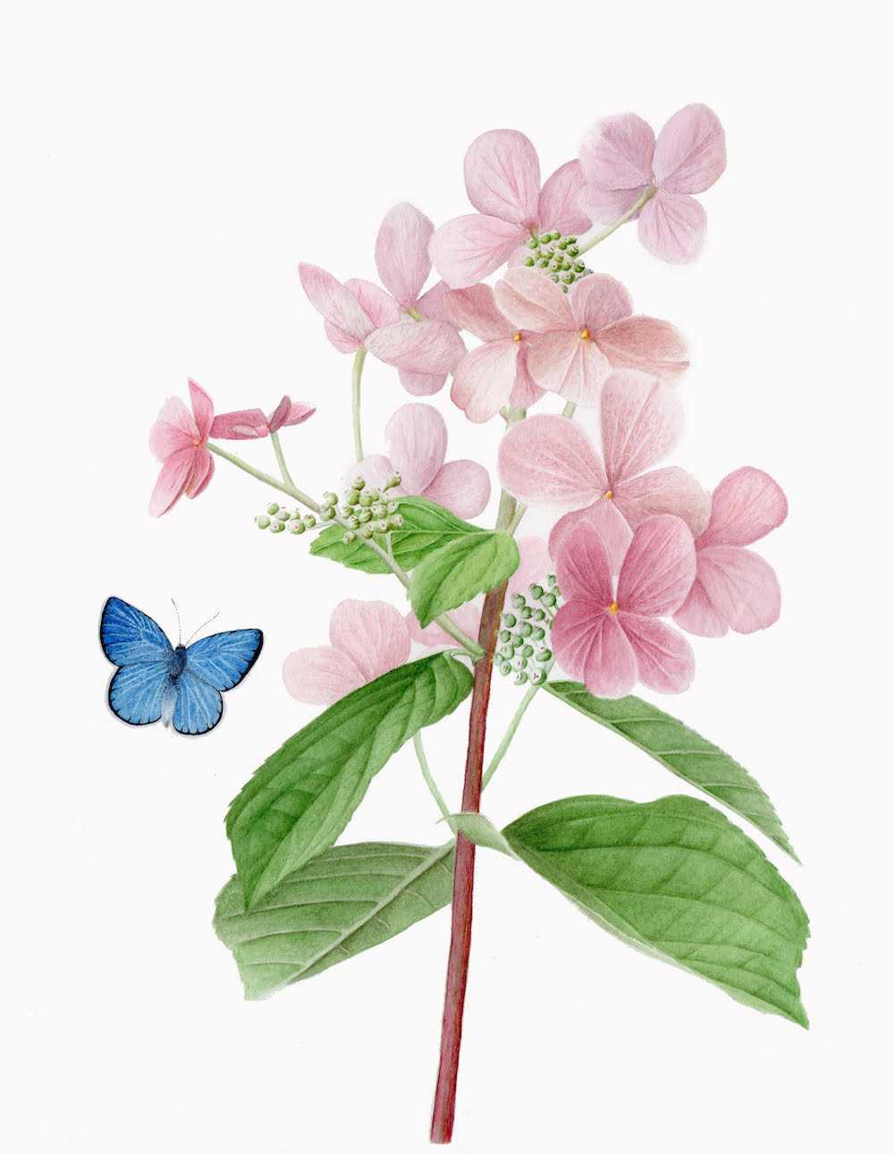 Hydrangea illustration by Nora Sherwood