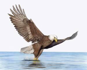 Fishing Bald Eagle illustration by Nora Sherwood