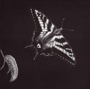 Pale Swallowtail illustration by Nora Sherwood